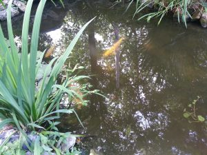 Fish in outdoor pond